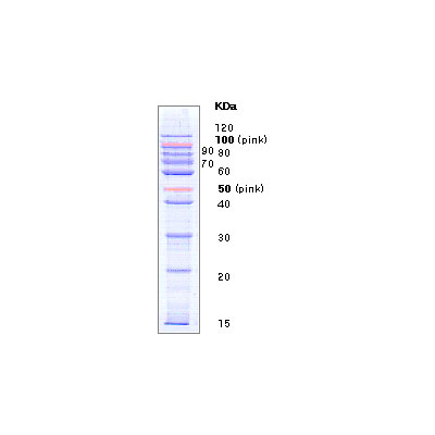 10 Kd Prestained Protein Marker