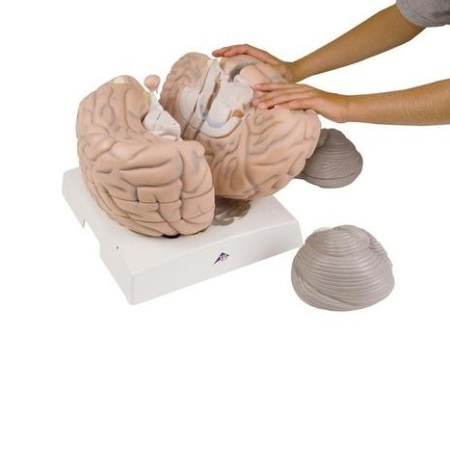Giant Brain, 2.5 times full-size, 14 part (대형 뇌모형)