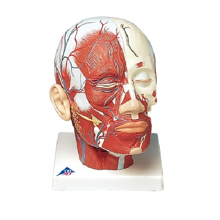 Head Musculature additionally with Nerves (신경이 있는 얼굴 근육모형)