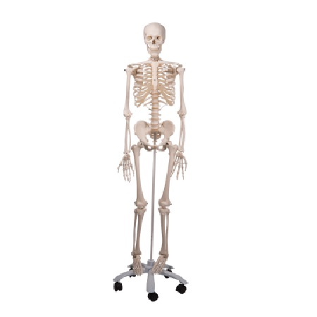 Skeleton Stan A10 on metal stand with 5 casters (인체 골격 모형)