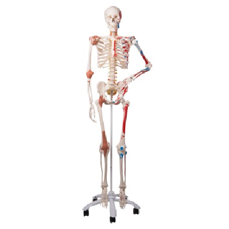 Skeleton Sam A13 - Luxury version on a metal stand with 5 casters (전신 골격 모형)
