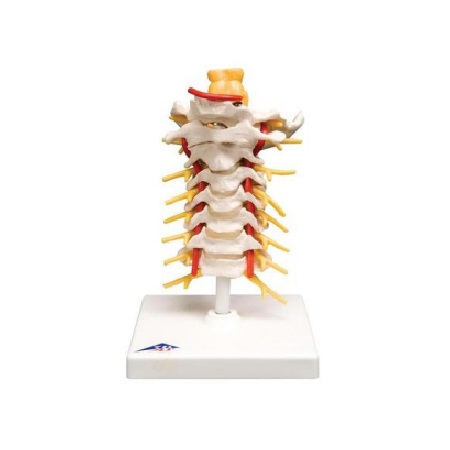 Cervical Spinal Column (경추 모형)