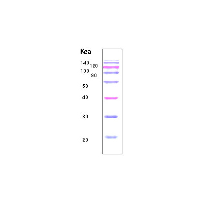 20 Kd Prestained Protein marker